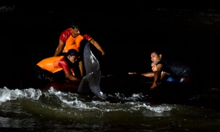 Rescuers work through the night to save dozens of short-finned pilot whales.