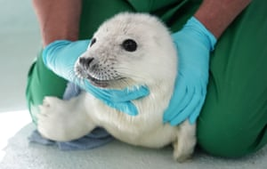 Macca, a rescued baby seal, at the Blue Reef centre in Tynemouth. The pup was found drowning on the Northumberland coast after becoming separated from its mother