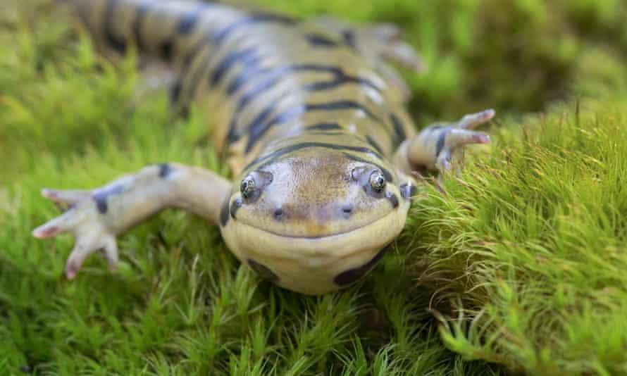 The barred tiger salamander (Ambystoma mavortium)