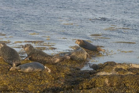 A group of seals rest on the rocky shore at Scapa Flow.