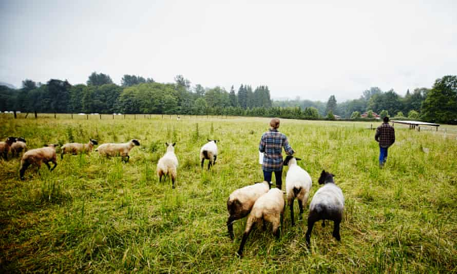 Farmers feeding sheep in a field in Suffolk