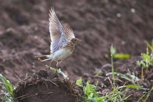 A lark in a field near the village of Danilovichi, Grodno region, Belarus