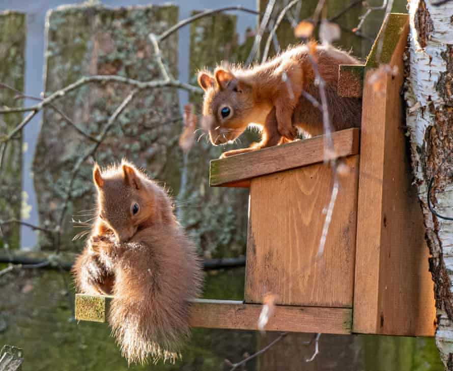 Squirrels are seen at a feeding station.