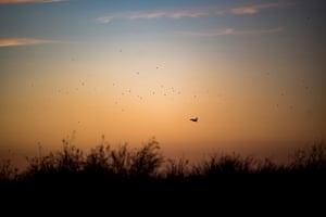 Australian Pelican at sunrise, Eulimbah, Gayini