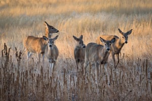 A group of white-tailed deer at sunrise in Colorado, United States