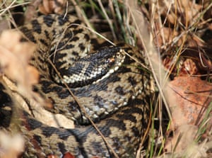 The adder used to be widespread across Britain but has declined markedly in recent years, particularly in middle England.