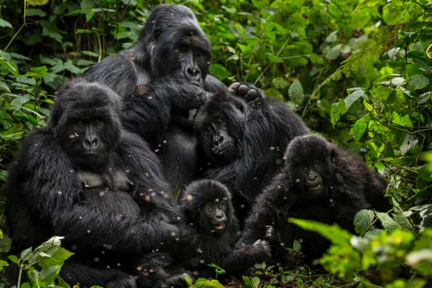 The rise in mountain gorilla numbers is a success for intensive conservation work in a troubled region.