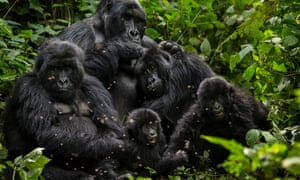 Mountain gorillas in Virunga national park, in the Democratic Republic of the Congo