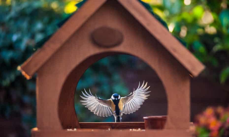 Blue tit feeding in a garden