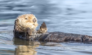Sea otters are the smallest marine mammal in North America.