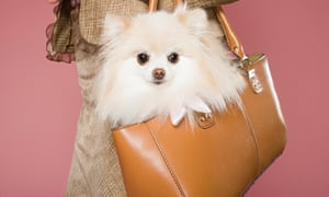 The Dogs Trust has reported a 444% rise in the number of handbag breeds it has taken in.
