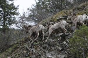 Bighorn sheep run along a steep mountainside outside Missoula, Montana, US