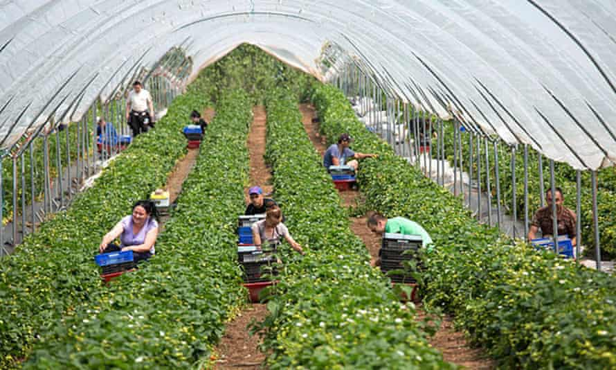 Strawberries being picked at Manor Fruits Farm, Hints, Staffordshire
