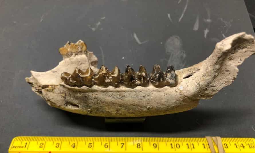 A tapir jaw.