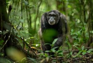 A chimpanzee in Kibale national park, Uganda