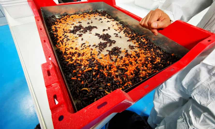 Adult mealworm beetles, which are used for reproduction, eat pieces of carrot in a container at the laboratory of the insect farm Ynsect