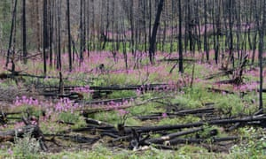 Fireweed springs up in the wake of forest fires.