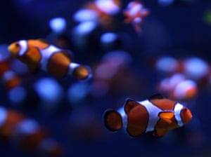 Anemonefish (Amphiprion ocellaris) swim in the Aquarium of the Pacific complex in Long Beach, California.