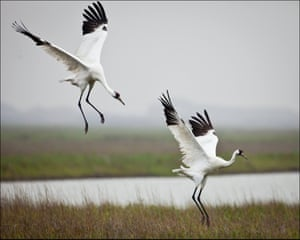 Whooping cranes in their wintering grounds at Aransas national wildlife refuge in Austwell, Texas.