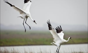 A whooping crane family.