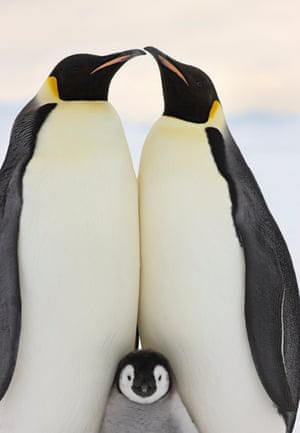 Emperor penguins with a young chick