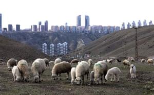 Ankara, Turkey: sheep graze in the fields on the outskirts of the capital's Çankaya district
