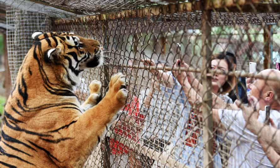 A Siberian tiger at a wildlife park in Hailin City, China.
