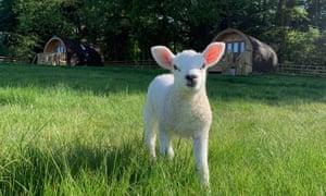 A lamb at Wolds Walk Glamping spring visits