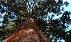 Giant redwoods (Sequoiadendron giganteum) were introduced to Britain in the 19th century.