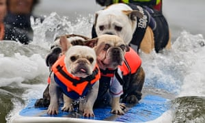 Six dogs attempt to break the world record for most dogs on a surfboard