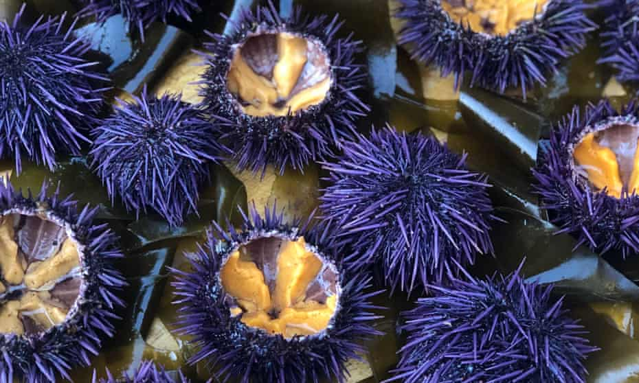 Purple sea urchins helped lay waste to over 90% of California's vast bull kelp forests between 2014 and 2016.