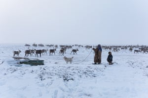 The Nenets rhythm of life is determined by their animals. The reindeers' pasturing needs set their owners in motion, but it is the humans who lead the migration. While the men lasso the herd, women keep them together. For several hours, Lena circles the 800 reindeer with one of the dogs until the lassoing is finished. It is tiring and physical work that requires constant attention