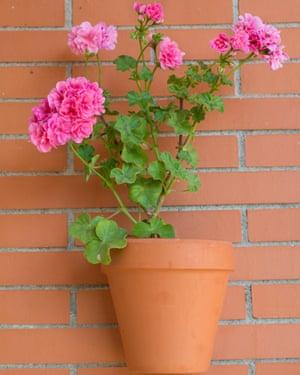 Worth saving: a precious potted geranium.