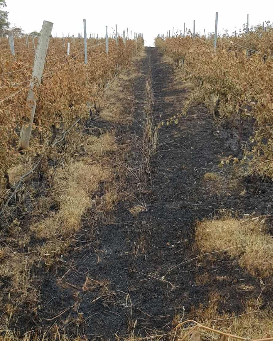 Vines ruined by fire