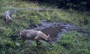 Image taken by a motion-activated camera attached to a tree shows wolves in the Beskidy mountains.