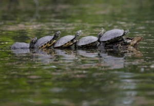Bucharest, RomaniaTurtles warm themselves by sitting on a tree branch in a park