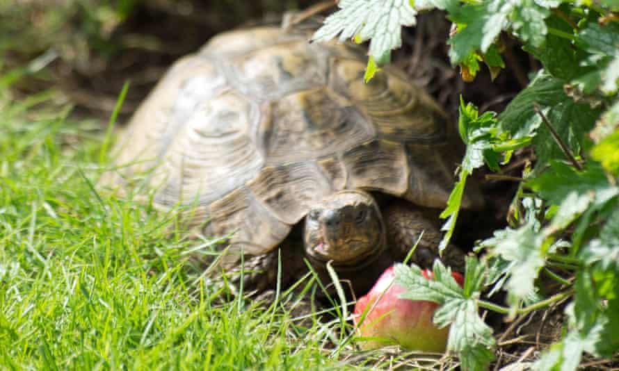 A tortoise in a garden