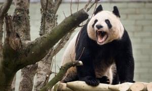 Edinburgh Zoo's female giant panda, Tian Tian