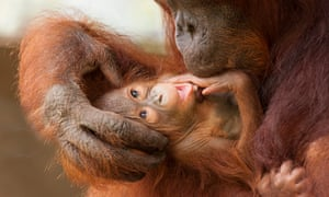 A mother and baby orangutan in Tanjung Puting national park, Borneo, taken from a new book, The Orangutan's World