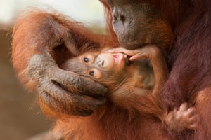A mother and baby orangutan in Tanjung Puting national park, a diverse example of coastal tropical heath and peat swamp forest that used to cover much of southern Borneo.