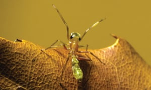 A northern green tree ant mimic spider from Darwin in the Northern Territory.