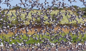 A large flock of knot (Calidris canuta) in flight over Titchwell, Norfolk, 2007