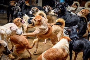 Bangkok, Thailand Dogs fight in a crowded enclosure at Auntie Ju's shelter for stray animals, where about 1,500 canines rescued from the streets of the capital are being housed. Donations of food and money have plummeted since the outbreak of the coronavirus pandemic