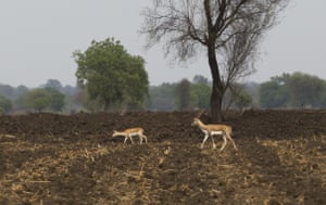 Deer make their way in the dry fields due to drought in Marathwada region, in Maharashtra India.