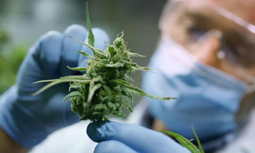 A cannabis flower being cultivated and tested at Helius