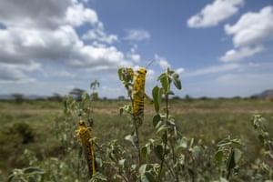 Desert locusts feed on plants in Nasuulu Conservancy.