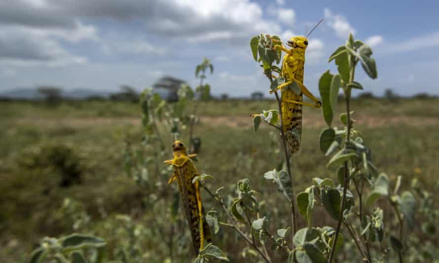 Desert locusts feed on plants in Nasuulu Conservancy, northern Kenya, on 1 February 2020.