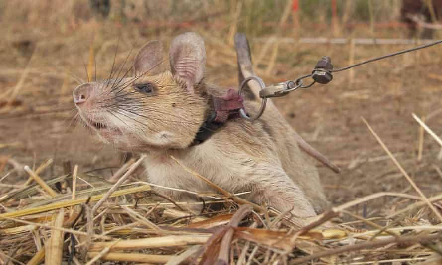 Landmine detection rat, Magawa