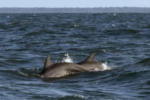 A pair of bottlenose dolphins surface off the coast off Savannah in Carolina, US.