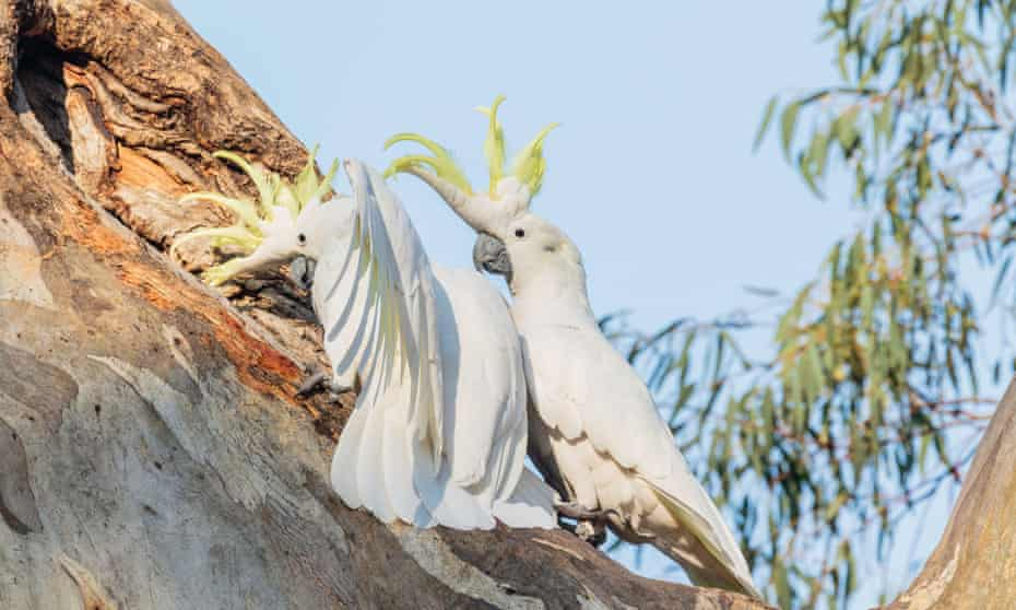 The din can be deafening when sulphur-crested cockatoos enter a dispute with them over a tree hollow.
